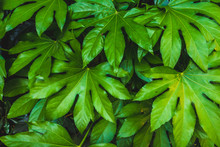 Background Of Large Green Leaves