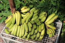 Ripe And Green Banana Bundle Freshly Removed From Its Tree And Placed On A Metal Container.