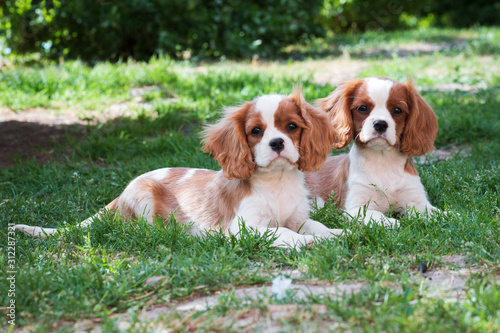 Cuadros en Lienzo Two young dogs cavalier king charles spaniel on the grass