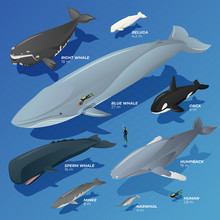 Isometric Type Comparison Of Whales