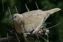 Morning Dove Sitting On Nest Built On An Antenna