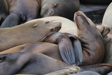 Sea Lions Resting Peacefully In A Pier
