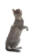Adult Cat Stands On Hind Legs ...