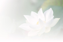 White Lotus Background, Select...