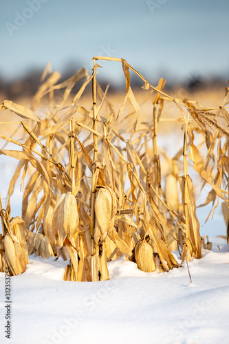Fotografia, Obraz  Deep snow covered corn field in Wisconsin that has not been harvested yet