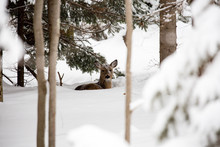 White Tail Deer Bedded Down In Snow With Snow On Her Head And Face