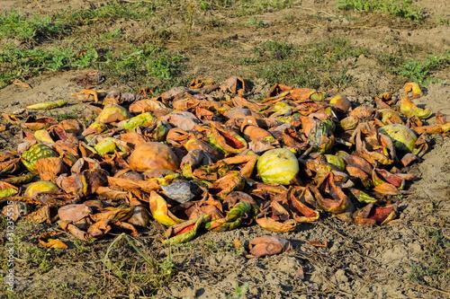 Valokuvatapetti Heaps of rotting watermelons. Peel of melon. An abandoned field