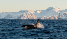 Orca / Killer Whale Of Norway ...
