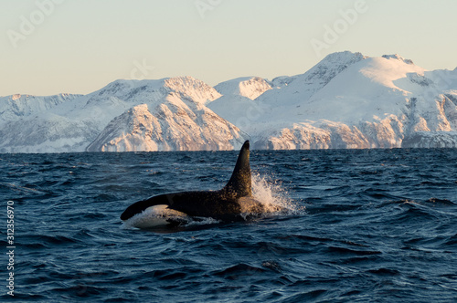 Orca / Killer Whale of Norway - Lofoten Canvas Print