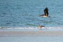 Brown Pelican Flying Over The Gulf Of Mexico - Florida