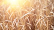 Ears Of Golden Wheat Closeup. ...