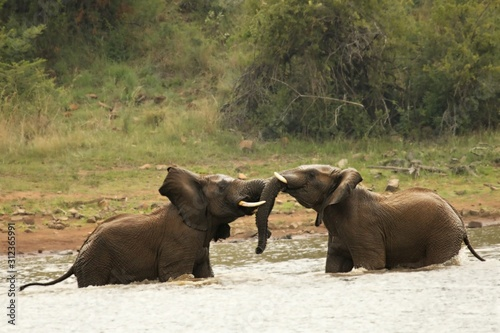 Photo wo African bush elephants (Loxodonta africana) fighting in the lake, splashing water