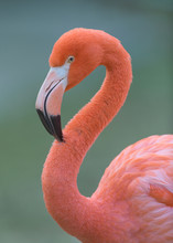 Pink Flamingo Closeup Profile Portrait Against Smooth Green Background