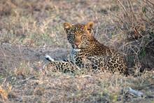 Close Up Of A  Leopard Cub (ap...