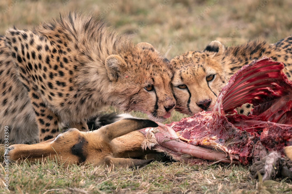 Fototapeta Two young cheetah feeding on a fallen impala.  Image taken in the Maasai Mara, Kenya.