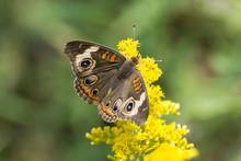 Butterfly 2019-172 / Buckeye B...
