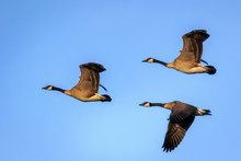 Flock Of Three Canada Geese Flying In Formation Across A Blue Sky