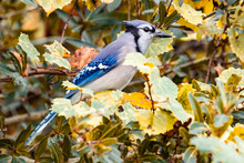 Blue Jay Sits In The Colorful ...