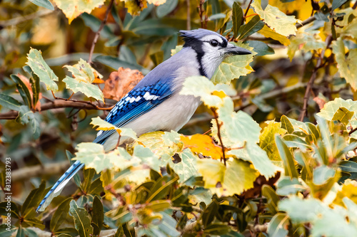Obraz na płótnie Blue jay sits in the colorful fall leaves of tree