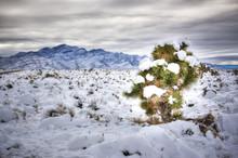 Joshua Tree In The Snow