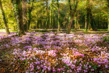 A Bed Of Pink Wild Cyclamen (C...