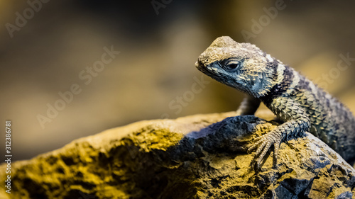 Blue spiny lizard looks cautiously towards the camera with open space on the left side
