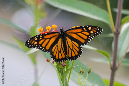 Butterfly 2019-176 / Monarch butterfly (Danaus plexippus) Canvas Print