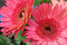 Pink Gerber Daisy With Rain Drops