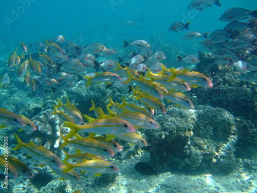 Fototapety, obrazy: Mixed shoal of yellowfin goatfish (Mulloidichthys vanicolensis) (front) and humpback snapper (Lutjanus gibbus) (rear), Borneo