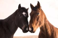 Horse Heads Winter Coat Black And Sorrel