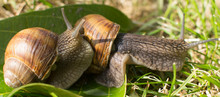 Two Snails On A Green Leaf In ...