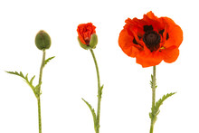 Poppy In Three Stages, From Bu...