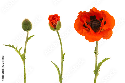 Poppy in three stages, from bud to blooming flower isolated on a white background - 312414310
