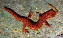 Red Cave Salamander