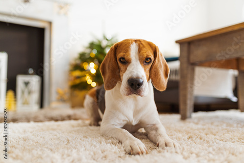 Beagle dog lying on carpet in cozy home. Bright interior Wallpaper Mural