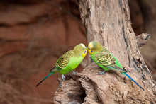 Two Green Australian Budgies P...