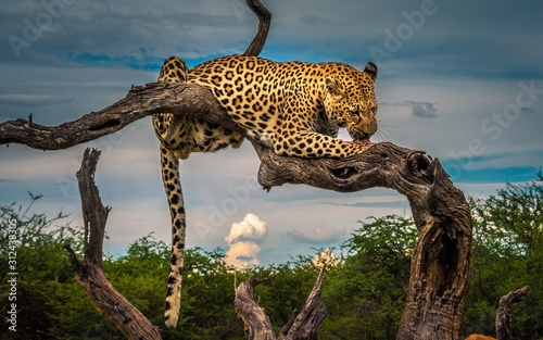 leopard on tree Canvas Print