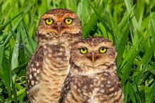 Owl Couple ( Athene Cuniculari...