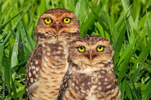 Photo  Owl couple ( Athene cunicularia) carefully taking care of their nest, predatory