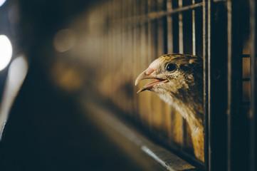 quail bird farm egg cage organic animal poultry