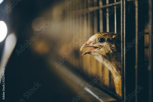 quail bird farm egg cage organic animal poultry Canvas Print