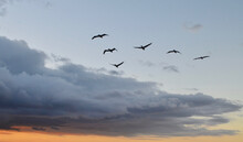 Flock Of Brown Pelicans Flying...