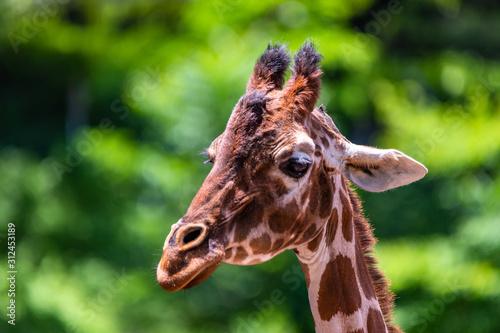 Photo close up photo of giraffe