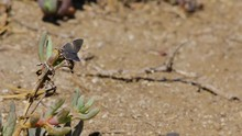 Grey Hairstreak Butterfly On Succulent Plant