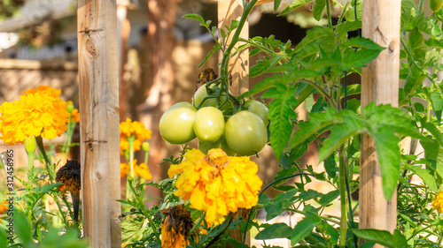 Fotografia Unripe cluster of green plum roma tomatoes growing in a permaculture style garden bed, with companion planting of marigold and calendula flowers, to attract pollinators and detract garden pests