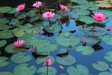Beautiful Pink Lotus Flower On The Lake With The Reflection Of Sky