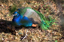 A Colorful Peacock, Walking Am...