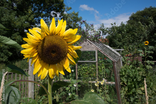 Photo Sunflower in Allotment