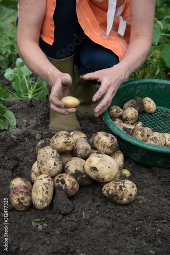 Harvesting Potatoes Wallpaper Mural