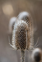 Wild Teasel Head Covered With ...
